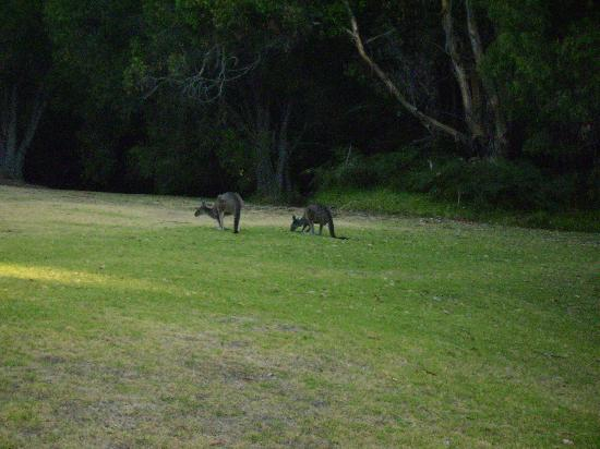 Waterfall Cottages: Kangaroos on the lawn