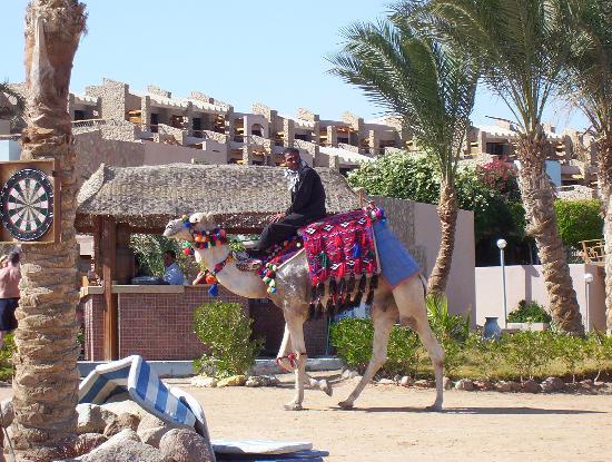 Coral Sea Sensatori - Sharm El Sheikh : Camel