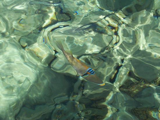 Coral Sea Sensatori - Sharm El Sheikh : Fish in the clear sea water