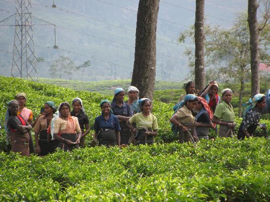Ceylon Tea Trails : tea pickers on our walk
