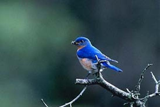 Ruffner Mountain Nature Preserve: Bluebird at Ruffner Mtn