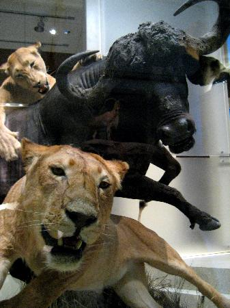 Museo Nacional Smithsoniano de Historia Natural: A group of lionesses take down a buffalo.