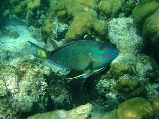 Rainbow parrotfish on our snorkeling trip picture of for Rainbow parrot fish