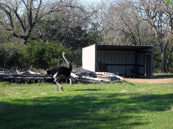 Granbury Log Cabins: One of the ostriches
