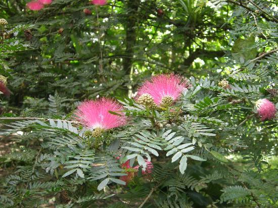 Asa Wright Nature Centre: Mimosa in bloom at Asa Wright Center