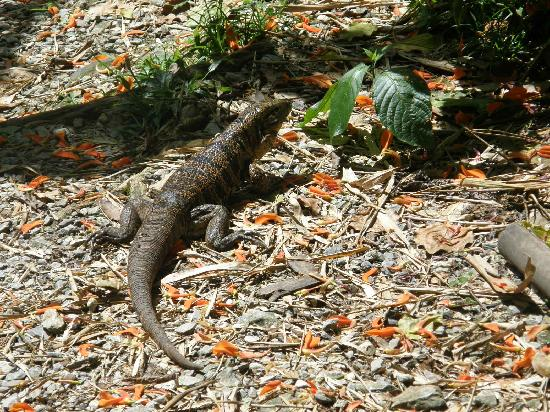 Asa Wright Nature Centre: Golden tegu lizard at Asa Wright Center
