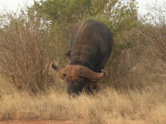 Scorpio Villas: il bisonte, enorme