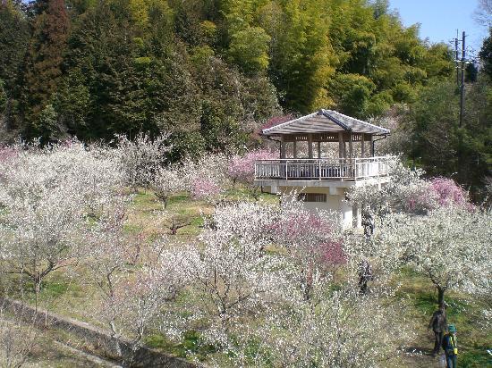 Tsukigase Plum Valley : 満開です