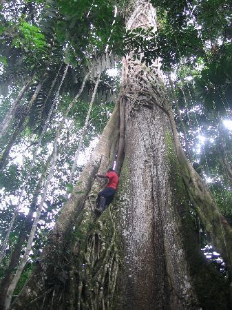 Misahualli, Ecuador: Arbre géant de l'Amazonie
