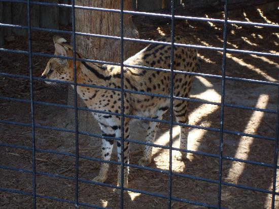 Wild Adventures Theme Park: Beautiful Serval