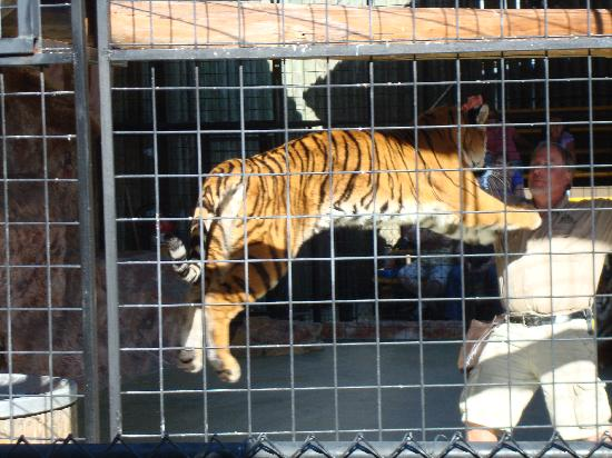 "Wild Adventures Theme Park: Tiger ""pouncing"" as part of the show"