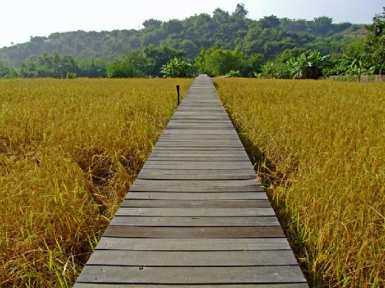 ‪‪Chiang Khong‬, تايلاند: Path over rice fields‬