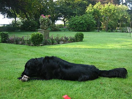 Alstonefield, UK: Bo, the Flatcoat Retriever, in the Manor's lovely garden