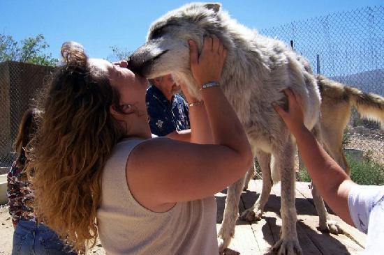 Lucerne Valley, Kalifornia: Me getting a wolf kiss