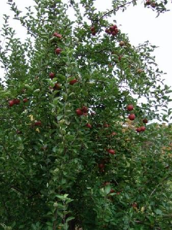 Apple picking at Shelburne Farms