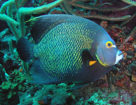 Manta Lodge: queen angel fish