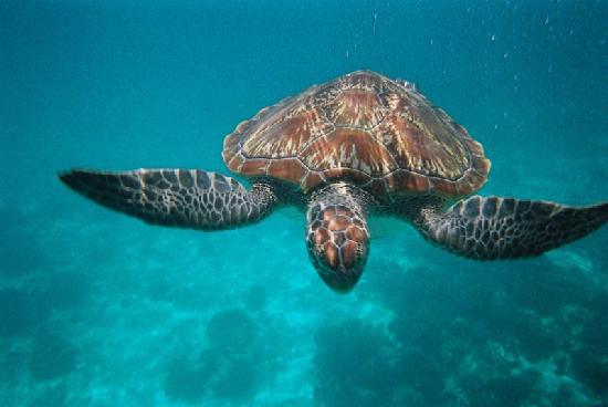 Khaolak Orchid Beach Resort: Sea turtle