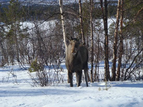 Kiruna Guidetur - Day Trips: Moose on the Moose Safari Tour