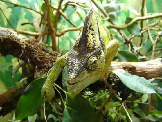 Port Lympne Reserve : veiled chameleon
