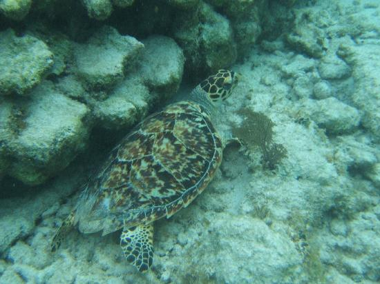Sin Duda Villas: turtle hiding in the rocks
