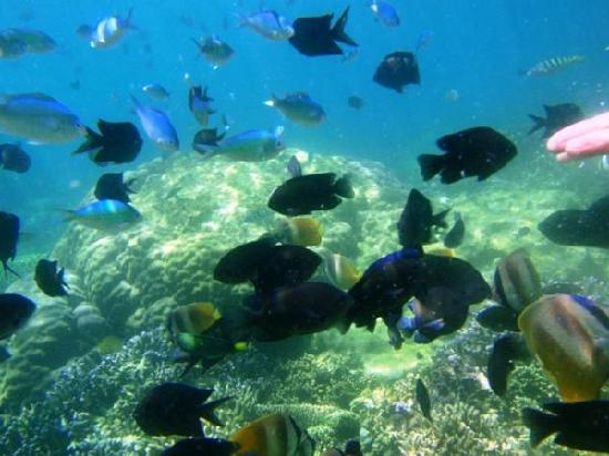 Coco Beach Island Resort: fish feeding in coral garden