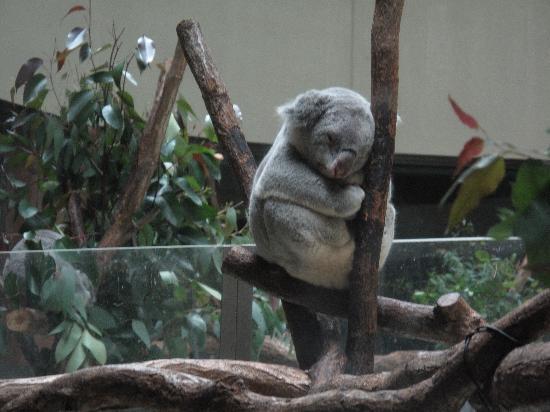 Hino, Japón: 寝ているコアラ