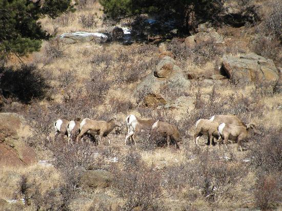 Ponderosa Lodge: Big Horn Sheep About 1/2 mile from the Ponderosa