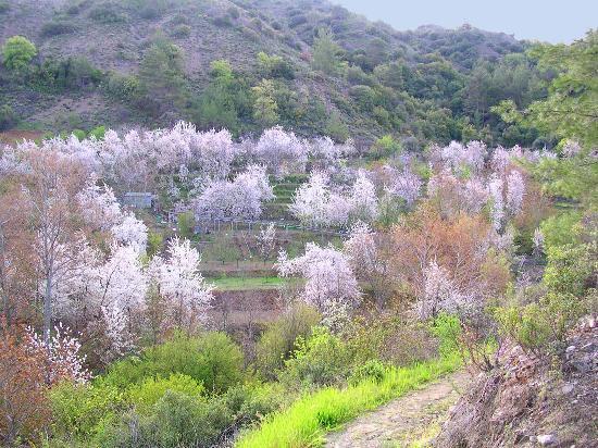 Горы Троодос, Кипр: Cherry trees at Treis Elies village