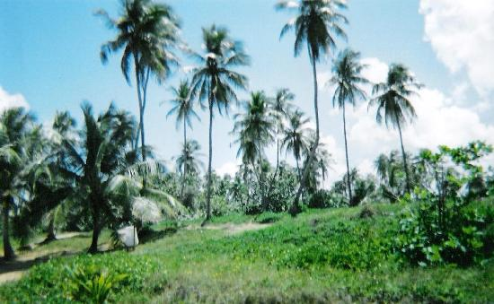 Loiza, Puerto Rico: Dense coconut groves line this coast