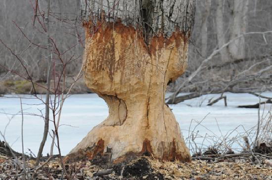 Swanton, Вермонт: Alder trees sculpted by beavers (Missisquoi Reserve)