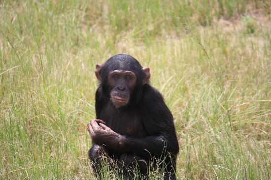 aha Casa do Sol: Chimpanzee Edel/ Jane Goodall
