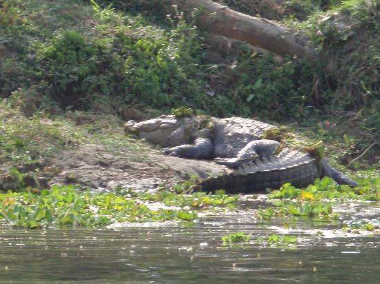 Hotel Parkside: Marsh Mugger crodile along Rapti river bank