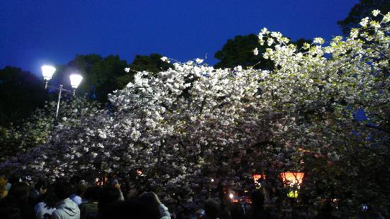 Japan Mint: 夜桜