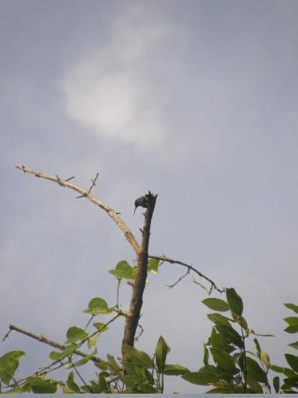 Copper-rumped hummingbird at Caroni Swamp
