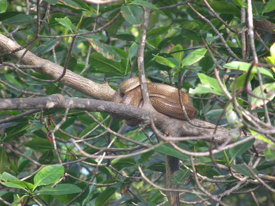 Boa constrictor asleep in tree branch, Caroni Swamp