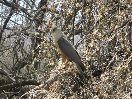 Tubac, AZ: Hawk on Anza Trail