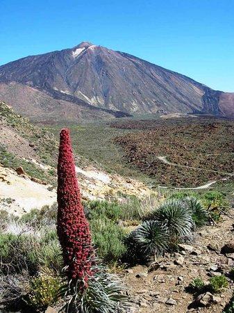 Tenerife, Spagna: Tajinaste Rojo or Teide Bugloss