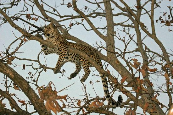 Kanha National Park, India: Wonderful Leopard
