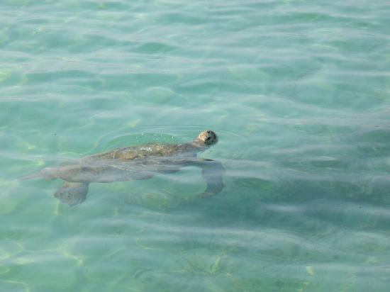 Agatti, Indie: turtle
