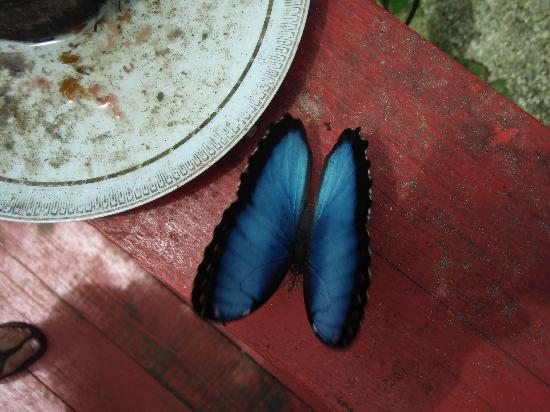 Bocas Butterfly Garden : lucky if you catch a pic of one of these, they dont sit still