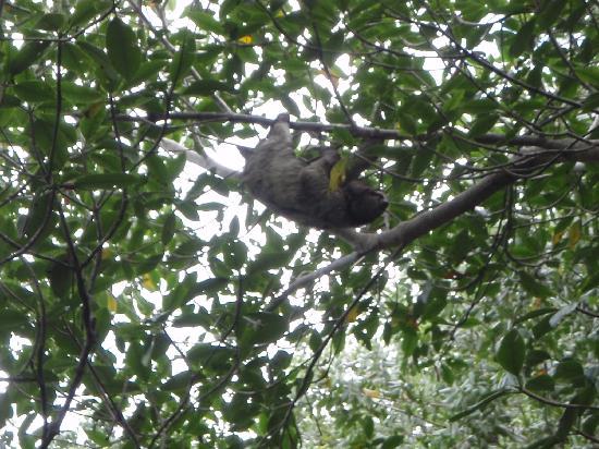 Bocas Butterfly Garden: sloth outside the garden