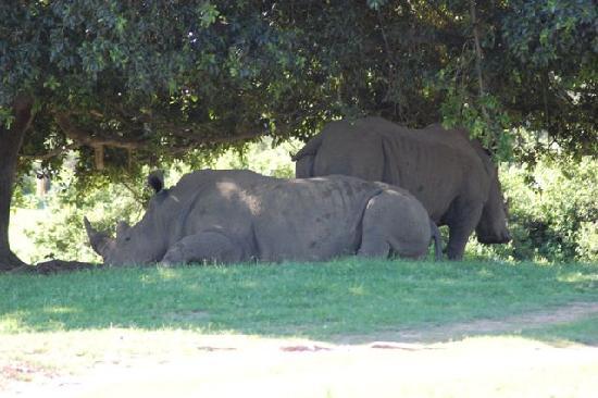 Gaestehaus Saxonia: Rhinos!