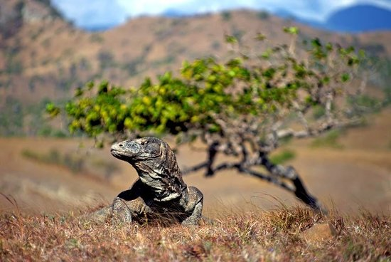 East Nusa Tenggara, Indonesien: komodo dragon by berti lubiger