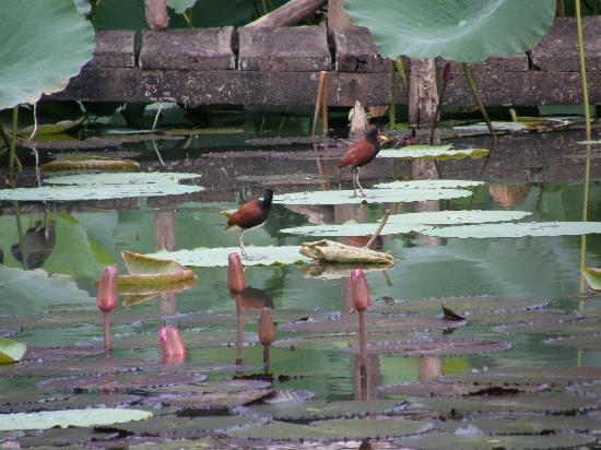 Pointe-à-Pierre Wildfowl Trust : Wattled jacana walking across lily pads at Wildfowl Trust