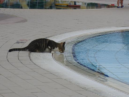 Melissi Beach Hotel & Spa : Ciprus cat (near hotel pool)