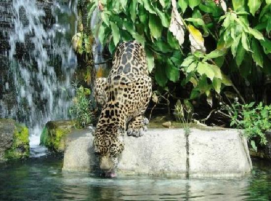 Jacksonville Zoo & Gardens : Jaguar at the Water