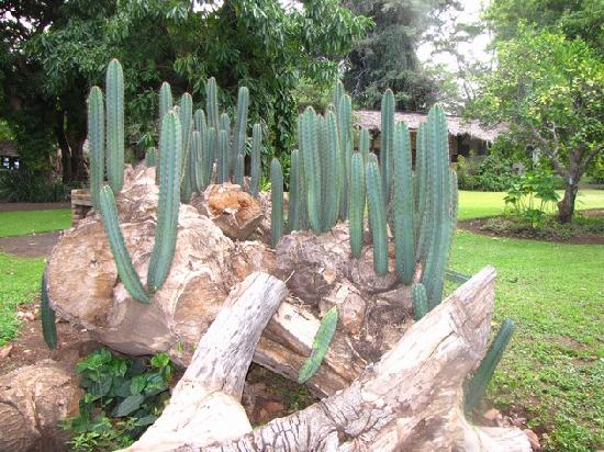 Rivertrees Country Inn: this is a fallen cactus with babies growing all over it.