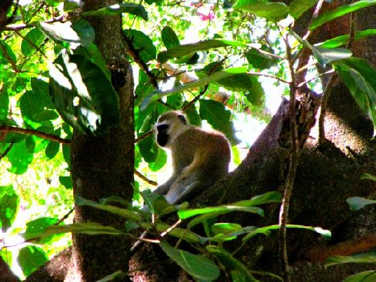 Rivertrees Country Inn: very nice monkeys seen occasionally