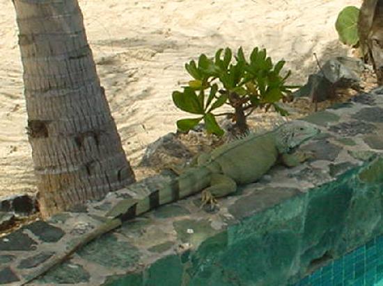Crystal Cove Beach Resort on Sapphire Bay: Rather Large Iguana