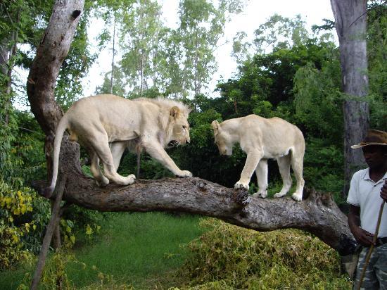 Mornea Hotel : Lions at Casarel Nature Park